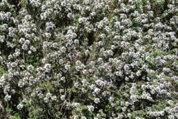 Campo flores en Ibiza   Hierbas de Ibiza perfumes