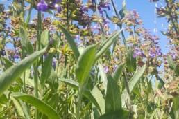 Campo flores en Ibiza para aromas   Hierbas de Ibiza perfumes